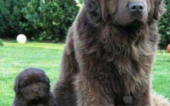 Newfoundlandi koer e. Njuufa — Millese koeraga on tegu?