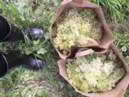 Põhjamaade niitude kuningannad – Harilik ANGERVAKS (Filipendula ulmaria ja ANGERPIST (Filipendula vulgaris)