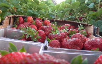 Soomes hakatakse maasikate päritolu teaduslikult kindlaks tegema