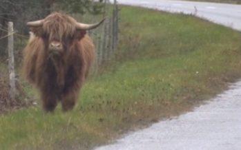 Ettevaatust! Saaremaa teedel liiguvad sõnnid