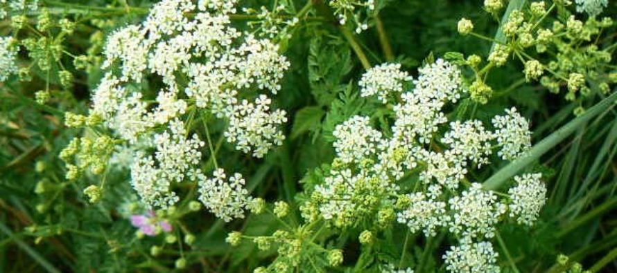 Hea teada! TOP10 Skandinaavia kõige mürgisemat taime